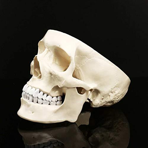 Crafts Schädel von menschlichem anatomischem Modell Medizin Schädel menschlichen anatomischen Anatomie Kopf Studium Anatomie Lehrbedarf