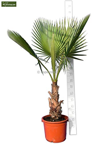Washingtonia robusta - Mexikanische Washingtoniapalme - verschiedene Größen - PALLETTENVERSAND! (160-180cm - Stamm 40+cm Topf Ø 40cm)