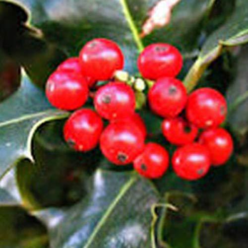 Ilex Aquifolium 'Alaska'- Houx 'Alaska' 40-60 cm en conteneur