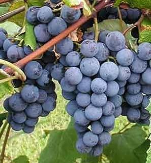 20 Concord Grape Seeds