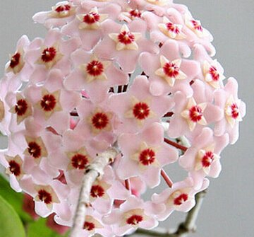 Vente chaude 2016 20 Couleurs rares graines de hoya Graines de fleurs 50pc/pack Bonsai Graines Maison & Jardin Livraison gratuite 7