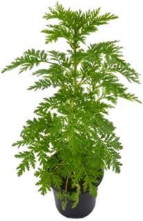 10 Mejor Artemisia Annua Comprar de 2020 – Mejor valorados y revisados