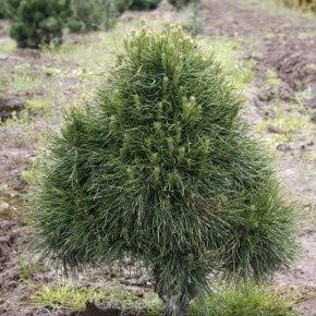 Kugelige Zwerg Kiefer Globosa Viridis 30-40cm - Pinus sylvestris