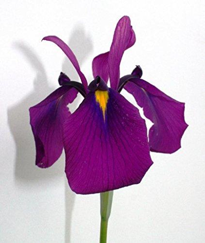 Wasserpflanzen Wolff - Iris kaempferi ensata - Japanische Iris - Sumpfschwertlilie, weiß, rosa, blau, violett