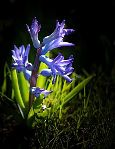 Notebook: Hyacinth flower blue blossom bloom fragrant bulb bulbs garden vase flowers blue purple mauve