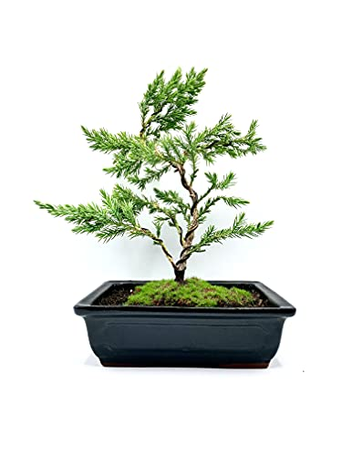 Live Dwarf Bonsai Tree 8'-10' Tall 6-7 Years Old | 100% Handcrafted | Shaped and Wired (Juniper )