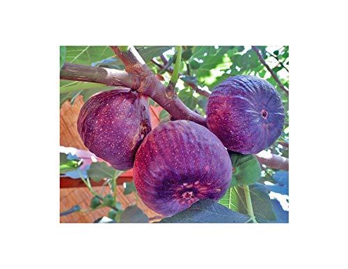 Ficus Carica « Scone », grande variété fruitée, très résistante au froid, plante architecturale et fruits savoureux, 8-10 cm