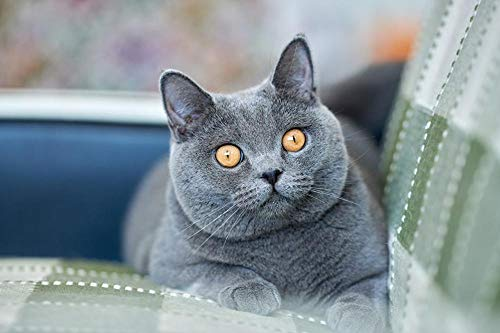 Lsping Gatos British Shorthair Glance Grey Snout 50x70cm
