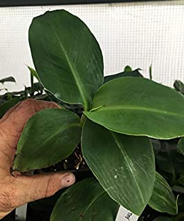 Musa 'Truly Tiny' Super Dwarf Banana Plant - Extremely Dwarfed - Live Plant