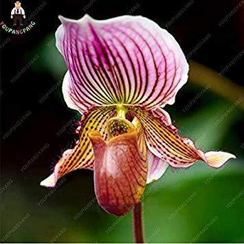 100pcs 20 types d'orchidées Graines vivaces Fleurs Plantes ornementales en pot Bansai Semences pour balcon et cour plante Diy jardin Effacer