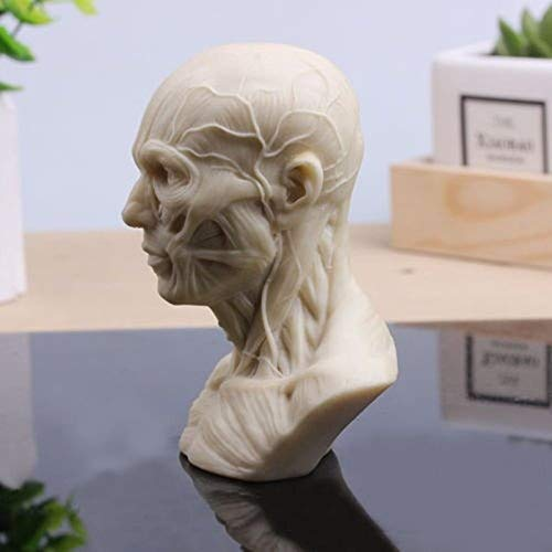 Human Model Anatomy Skull Head Muscle Bone Medical Art For The School