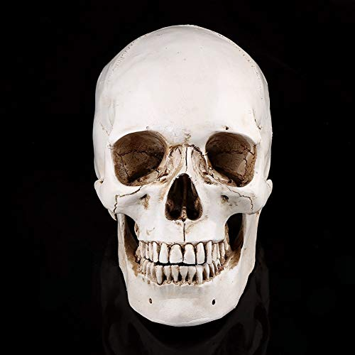 Life-Size Human Skull White Resin Skull Model for Drawing Model Replica Drawing Party Ornament