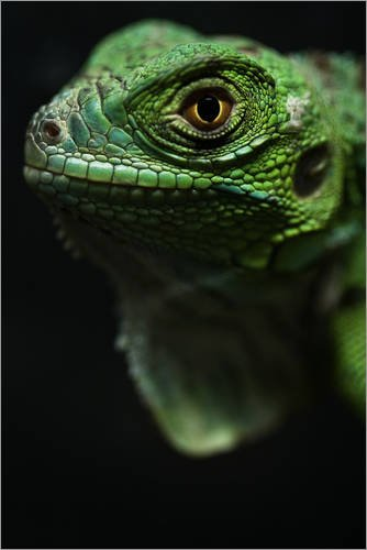 Posterlounge Cuadro de metacrilato 40 x 60 cm: Focus on The Lizard de Editors Choice