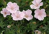 3 x Geranium sanguineum 'Apfelblüte' (Storchschnabel)