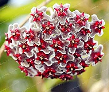 Virtue 24 Farbe Orchidee Ball Seltene Ball Orchidee Blume Mehrjährige Pflanze Hoya Carnosa Samen Bonsai Samen Topfpflanze Für Hausgarten 100 Stücke 23