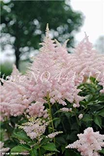 hot Sale 11 Color Available Categories astilbe chinensis Balcony Garden Potted Chinese astilbe Flower Plant seedfor Home 100pcs0