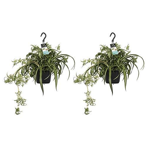 Zimmerpflanzen – 2 × Graslilie – Höhe: 40 cm