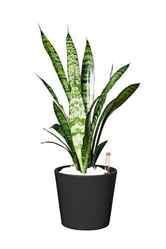 EVRGREEN | Zimmerpflanze Bogenhanf in Hydrokultur mit schwarzem Topf als Set | Schwiegermutterzunge | Sansevieria trifasciata Zeylanica