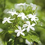 Potted Hardy Garden Plant Jasmine, Climbing Plants, Scented White Flowers in Summer, Fast Growing, Easy to Grow, 1 x Jasminum Officinale Plant in a 3 Litre Pot by Thompson & Morgan (1)