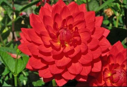Couleurs mélangées rares Dahlia Graines Graines Fleurs vivaces Belles Dahlia pour le bricolage jardin 100 PCS/Sac 11