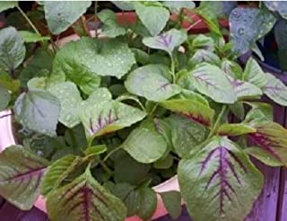 50 Purple Lotus Amaranthus Flower Seeds Annual