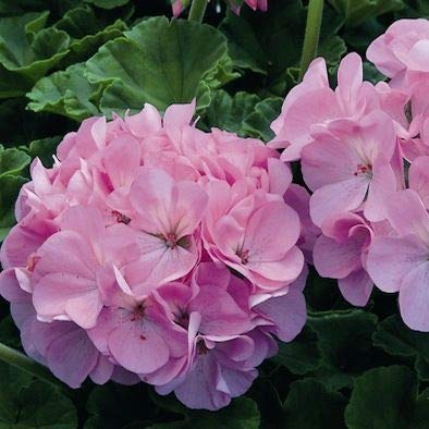5pcs Couleurs multiples Variétés Géranium Graines Bonsai Pelargonium vivaces Graines de fleurs Hardy Patio Plante Plante en pot bricolage 09
