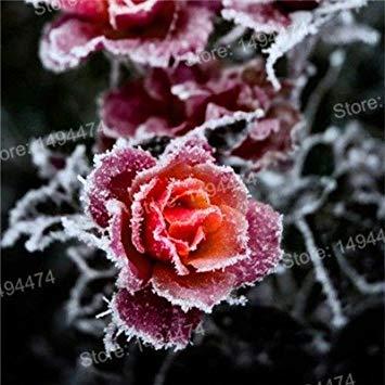 Vistaric 200 pcs Rare Mixte Couleur Rose Graines arc-en-rose rose graines Plante vivace fleurs bonsaï pot Maison Jardin Décoration Graines De Fleurs Effacer