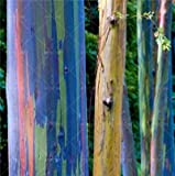 Ferry 100 PC/Bag Regenbogen-Eukalyptus Bonsai tropischer Baum Plantas Hauptdekoration schöne Gartenpflanze Regenbogen Eukalyptusbaum: 14