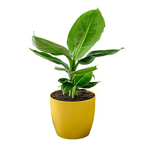 "Musa ""Oriental Dwarf"" inkl. gelbem, duftenden Ziertopf, Bananenpflanze, Lieferhöhe 35-45 cm, Topfgröße Ø 12 cm"