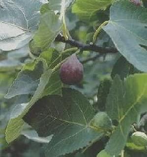 ficus tree fruit