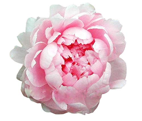 Walter Faxon Peony - Pink Double Peony Bare Root 3-5 Eyes
