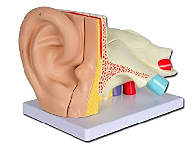 Gima - Coloured Ear Model, Value Line, Tympanum Modular in 5 Parts, for Teaching, Medical Practice, Students, 3 X by SHANGHAI POP3D CO LTD