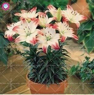 Pinkdose 2 Stück echte blaue Lilie Zwiebeln, doppelte Blütenblätter Lilie Blume Bonsai Zwiebeln, mehrjährige gemäßigten Zimmerblumen Topfpflanzen für Hausgarten: 22