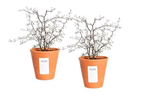 Piante da interno da Botanicly – 2 × Corokia Cotoneaster in pentola di terracotta come set – Altezza: 40 cm