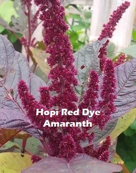 Hopi Red Dye Amaranth 100 Seeds - Amaranthus Cruentus Seed - Edible Natural Dye Plant