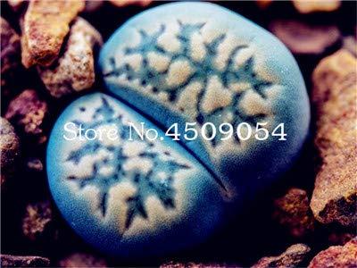 Ponak Neue 100 PC Lithops Pflanzensamen für schönen Garten Blau Weiß