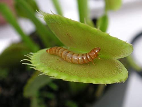 25 Vert Big Mouth Venus Fly Trap Dionaea Carnivorous Seed Bug manger