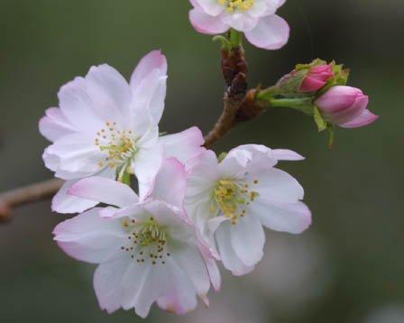桜 苗木 十月桜 十月桜は春と秋に咲く二季咲の桜