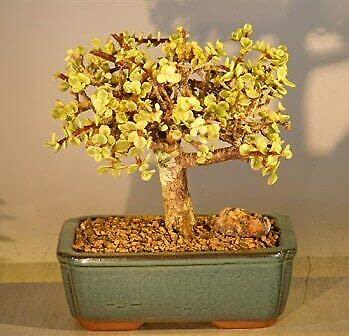 Elephant Bush Baby Jade Bonsai Tree 13 Years Old 8