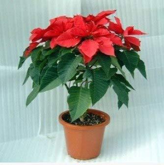 Mezcla: 100 piezas/bolsa, semillas de flor de pascua, Euphorbia Pulcherrima, plantas en macetas, estaciones de siembra, plantas con flores