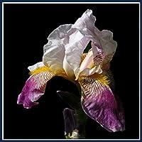 アイリス球根*植物盆栽*観賞植物,友達に送ることができます,庭の春落ちたカラフルフレッシュでチャーミング-15 球根,紫の