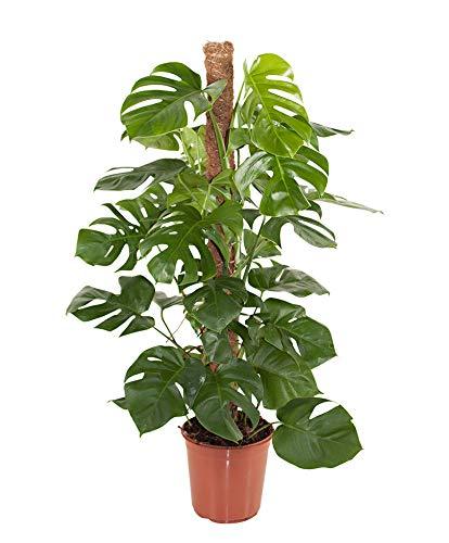 Monstera deliciosa inkl Moosstab | Araceae | Fensterblatt | große tropische Zimmerpflanze | Lieferhöhe 120-130cm | Topfgröße Ø 24 cm