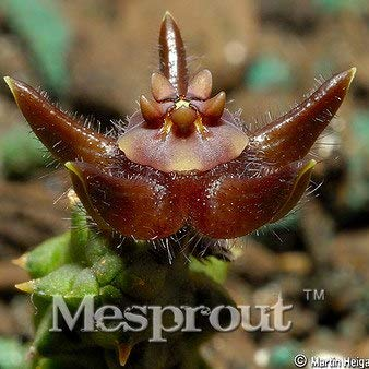 Bloom Green Co. ¡Gran venta!100 unids/lote Mix Cactus Duvalia Elegans Variedad Floración Color Raro Cactus Bonsai Oficina Mini Planta Suculenta: 3
