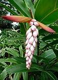 Tropica - Muschel-Ingwer (Alpinia zerumbet syn. Alpinia nutans) - 5 Samen