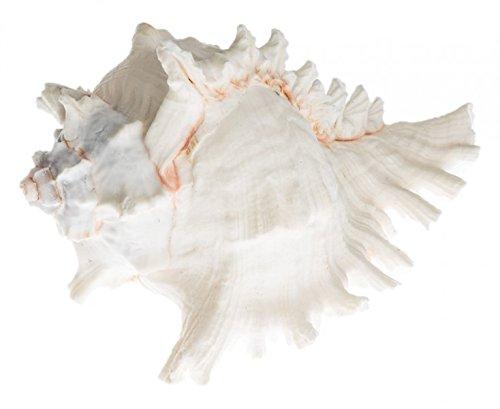 NaDeco Murex ramosud ca. 10-15cm Murex Raramosus großes Schneckenhaus Meereschnecke Deko Muschel Riesenstachelschnecke Maritime Dekoration