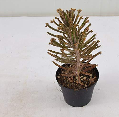 Pianta Grassa Kalanchoe Tubiflora, Vaso 10cm