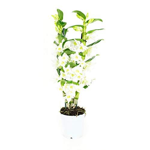 Orchidee von Botanicly – Bambus Orchidee – Höhe: 60 cm, 2 Triebe, weiße Blüten – Dendrobium Nobile Apollon