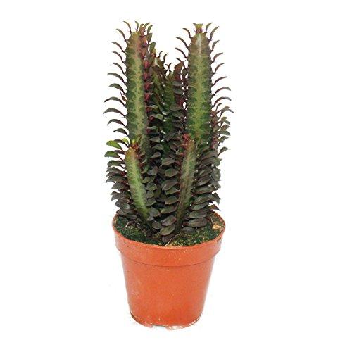 Exotenherz - Euphorbia trigona rubra - mittelgrosse Pflanze im 12cm Topf
