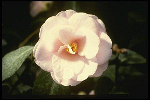 124002 Camelia Japonica 'Fleur De Pecher' (Japanese Camellia) A4 Photo Poster Print 10x8