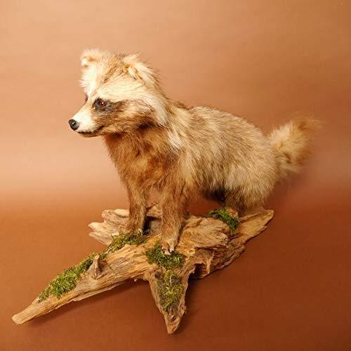 GTK - Geweihe & Trophäen KRUMHOLZ Marderhund Ganzpräparat auf Dekopodest Präparat Tanuki Enok Breite 83cm